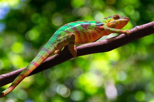 chameleon-6050432_1280